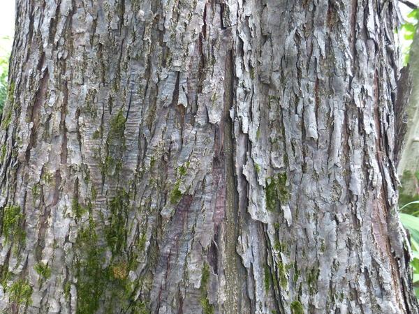 Choerospondias axillaris (Roxb.) B.L.Burtt & A.W.Hill
