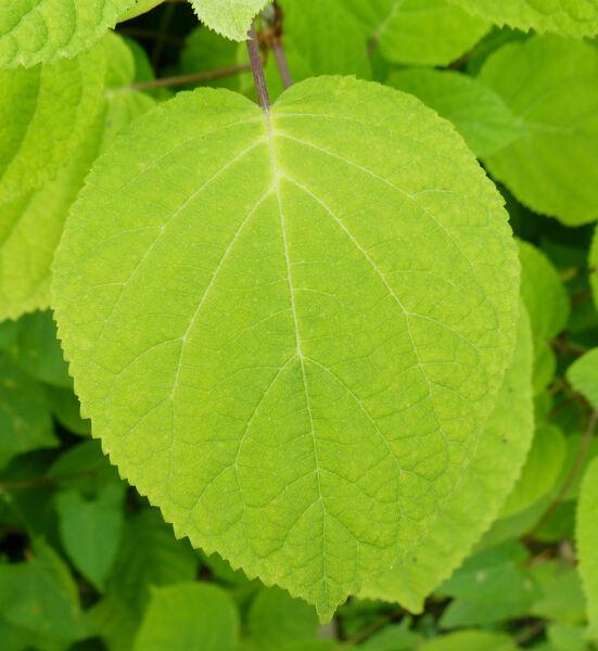 Hydrangea arborescens L.
