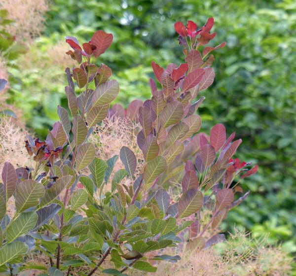 Cotinus coggygria Scop. 'Atropurpurea'