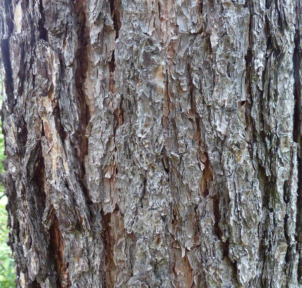 Pinus yunnanensis Franch.