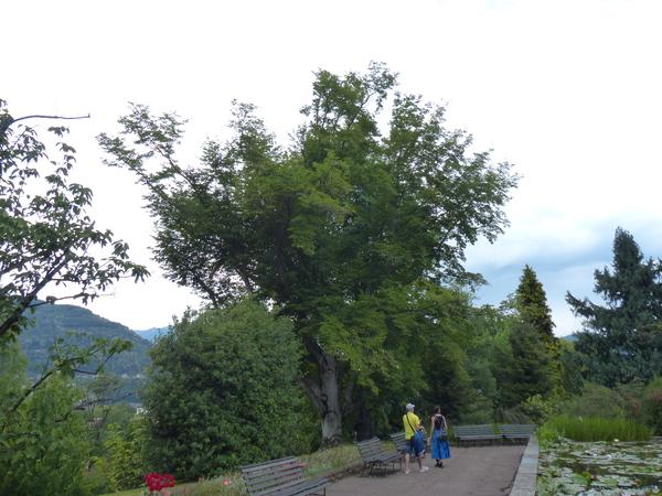 Magnolia salicifolia (Siebold & Zucc.) Maxim.