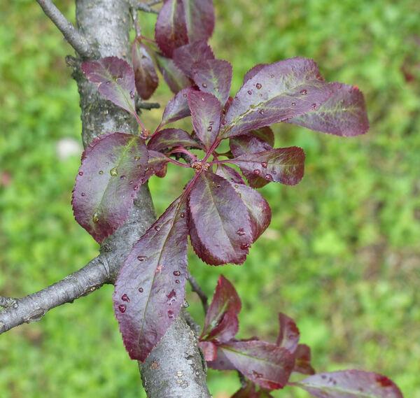 Prunus cerasifera Ehrh. 'Hessei'
