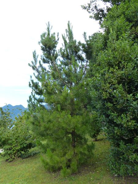 Pinus radiata D.Don