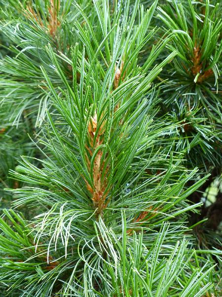 Pinus cembra L. 'Stricta'