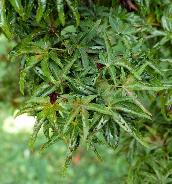 Acer palmatum Thunb. ex Murray 'Ribescifolium'