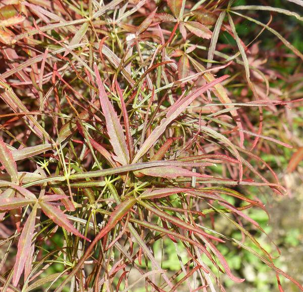 Acer palmatum Thunb. ex Murray 'Red Pygmy'