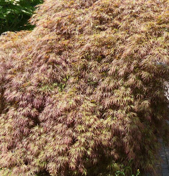 Acer palmatum Thunb. ex Murray 'Dissectum Rubrum'