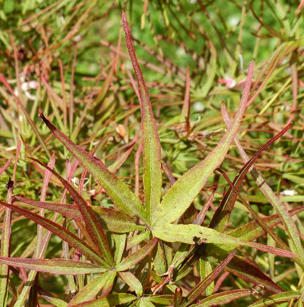 Acer palmatum Thunb. ex Murray 'Villa Taranto'