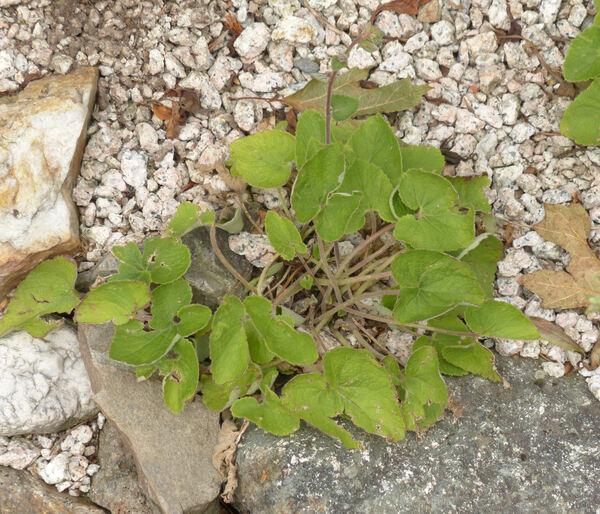 Campanula alliariifolia Willd.