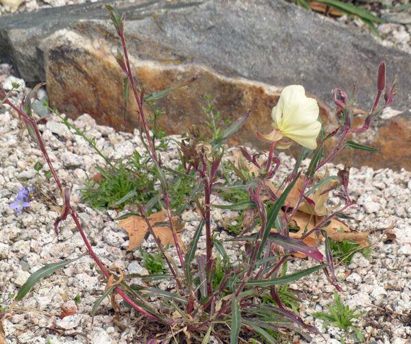 Oenothera odorata Jacq.