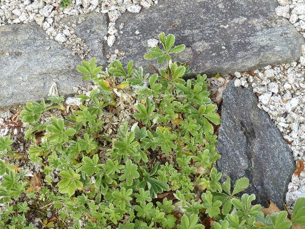 Potentilla valderia L.