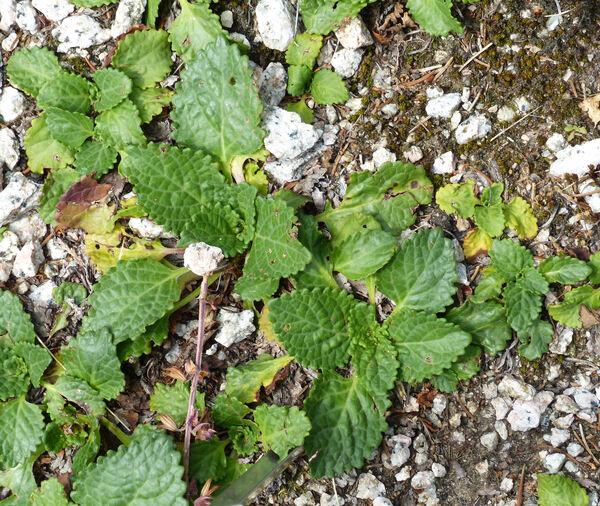 Horminum pyrenaicum L.