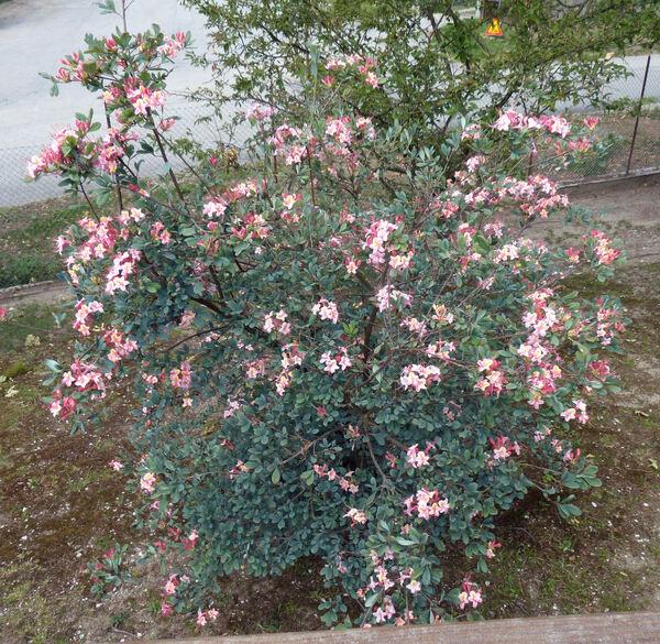 Rhododendron viscosum (L.) Torr. 'Framingham'