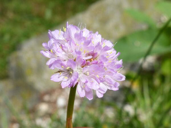 Armeria pseudoarmeria (Murray) Mansf.