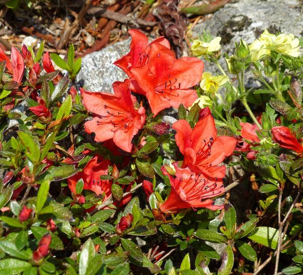Rhododendron nakaharae Hayata