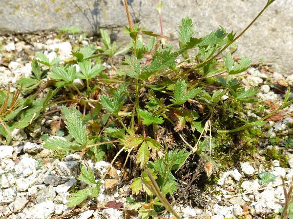 Potentilla grandiflora L.