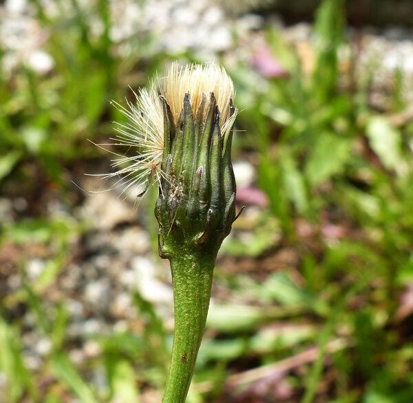 Leontodon hispidus L. subsp. hispidus