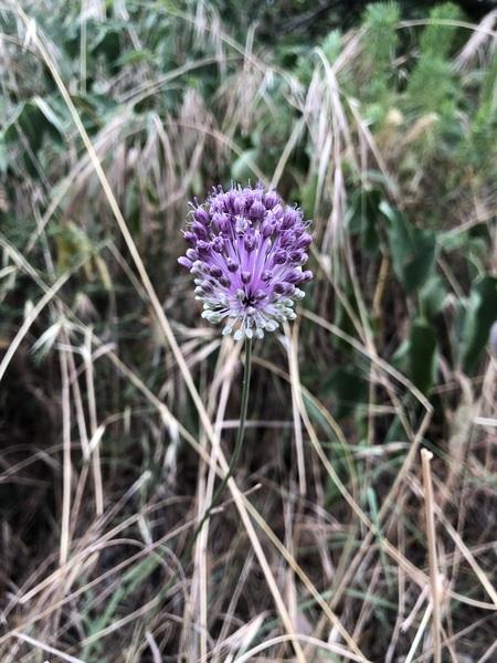 Allium sardoum Moris