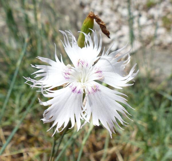 Dianthus hyssopifolius L.