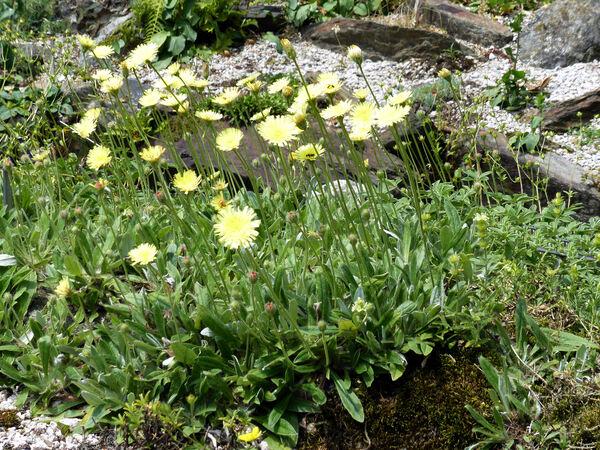 Pilosella peleteriana (Mérat) F.W.Schultz & Sch.Bip. subsp. peleteriana