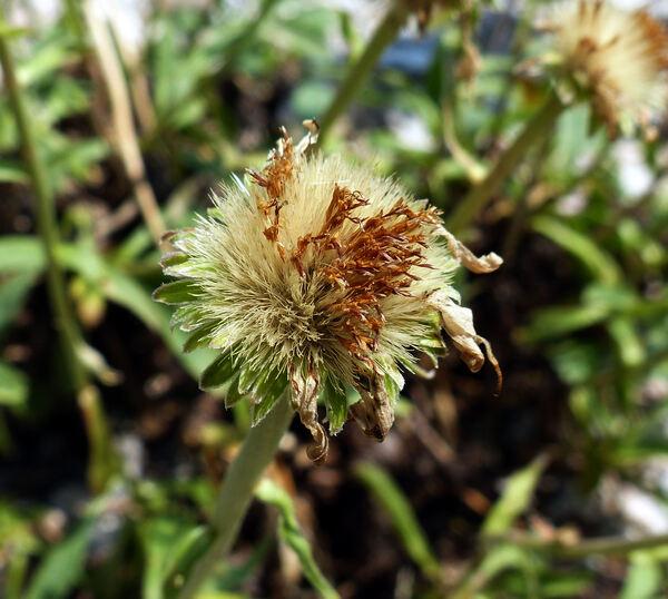 Aster flaccidus Bunge