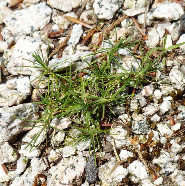 Dianthus pinifolius Sm.