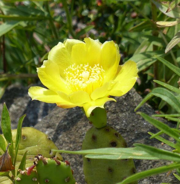 Opuntia compressa (Salisb.) J.F.Macbr.