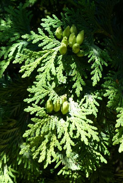 Thuja occidentalis L. 'Aureomarginata'