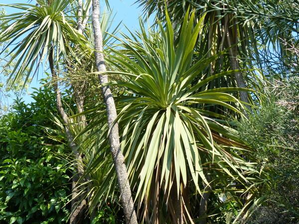 Cordyline australis (G.Forst.) Endl.