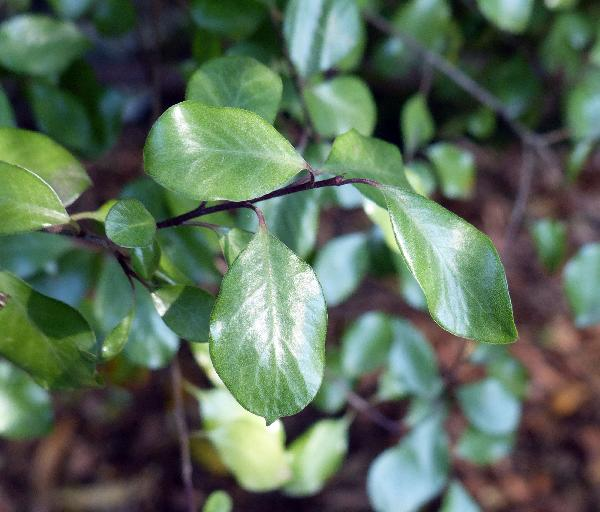 Pittosporum tenuifolium Banks & Soland. ex Gaertn. 'Green Elf'