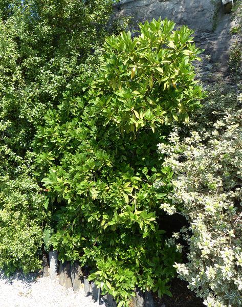 Illicium floridanum Ellis