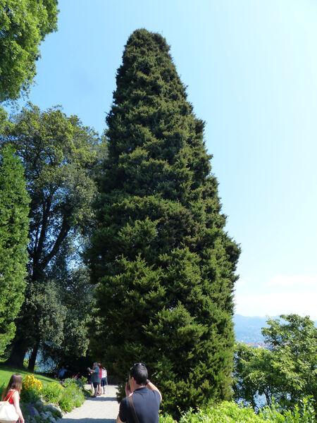 Cupressus sempervirens L. 'Pyramidalis'