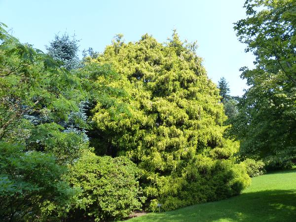 Chamaecyparis pisifera (Siebold & Zucc.) Endl. 'Filifera aurea'