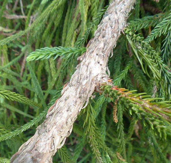 Cryptomeria japonica (L. f.) D.Don 'Araucarioides'
