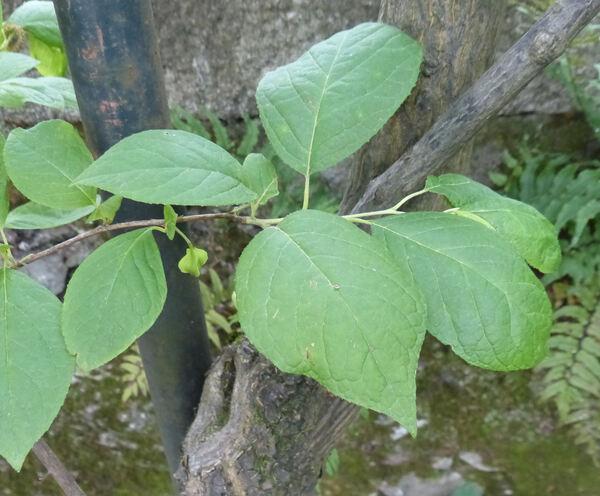 Halesia carolina L.