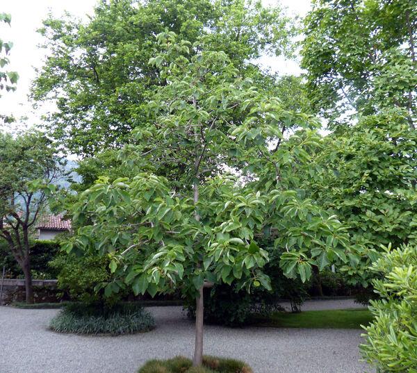 Magnolia watsonii Hook. f.