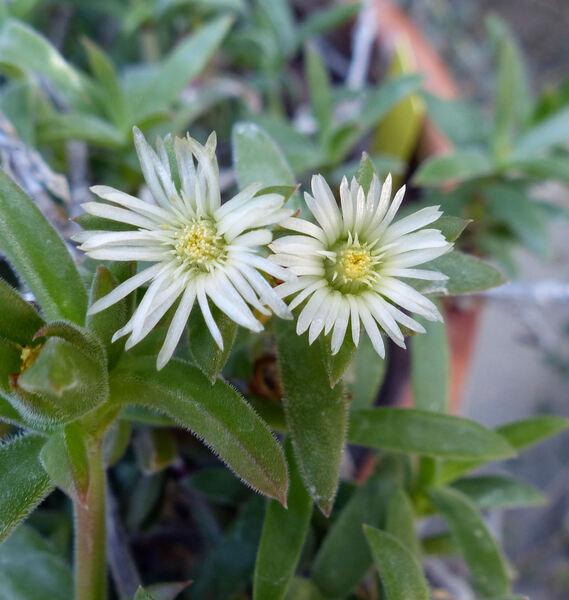 Delosperma hirtum (N.E.Br.) Schwantes