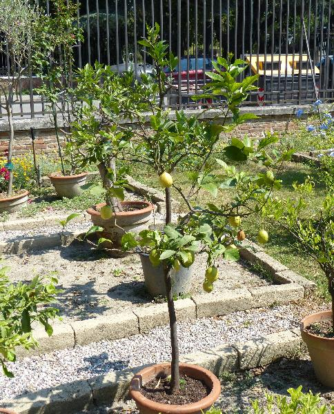 Citrus x limon (L.) Osbeck 'Amalphitanum'