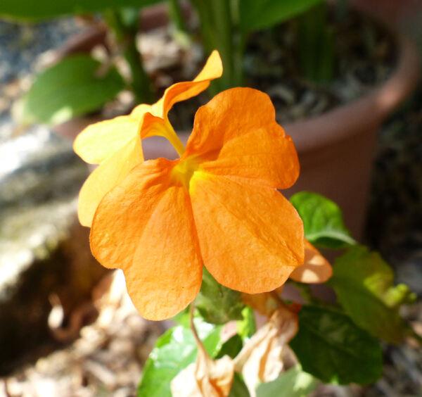 Crossandra infundibuliformis (L.) Nees