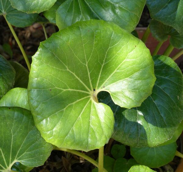 Farfugium japonicum (L.) Kitam.