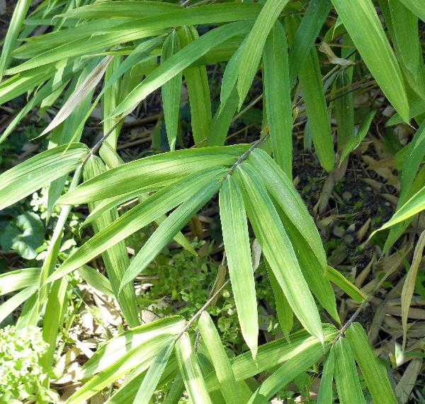 Pleioblastus viridistriatus (Regel) Makino