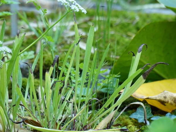 Plantago altissima L.