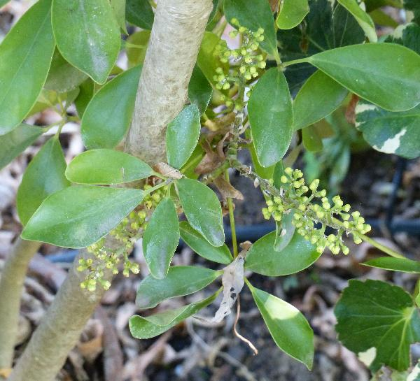 Schefflera venulosa (Wight & Arn.) Harms
