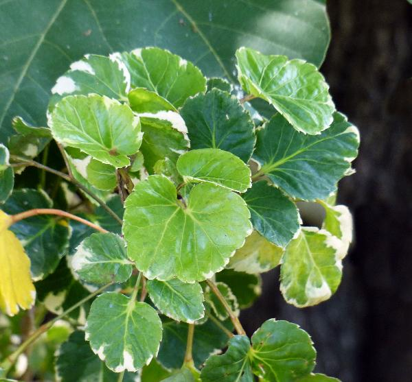Polyscias balfouriana L.H. Bailey 'Marginata'