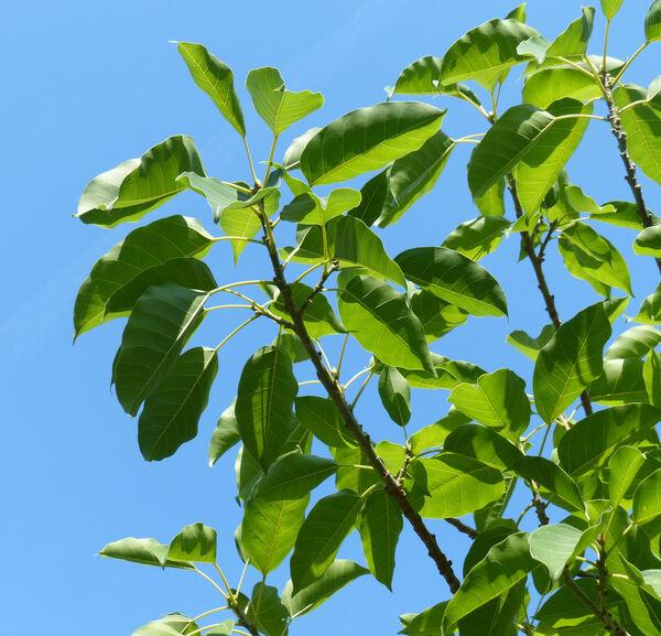Ficus lacor Buch.-Ham.