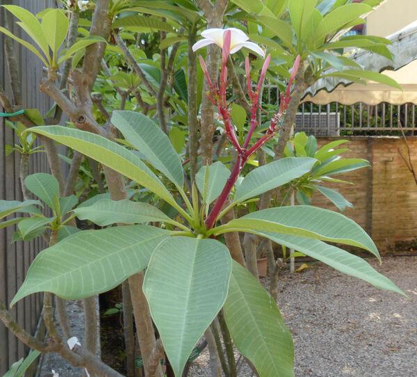 Plumeria rubra L. 'Lutea'