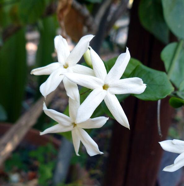 Jasminum sambac (L.) Aiton