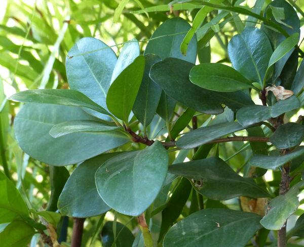 Corynocarpus laevigatus J.R.Forst. & G.Forst.