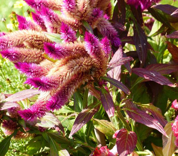Celosia argentea L.
