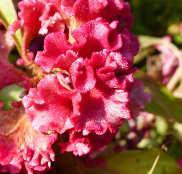 Celosia argentea L. 'Cristata'